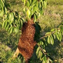Bees Swarm at Eltham Park