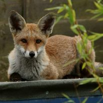 Hospital deter fox from site