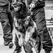 Welling Hero Police Dog to Retire