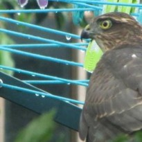 Sparrowhawk spotted in Plumstead